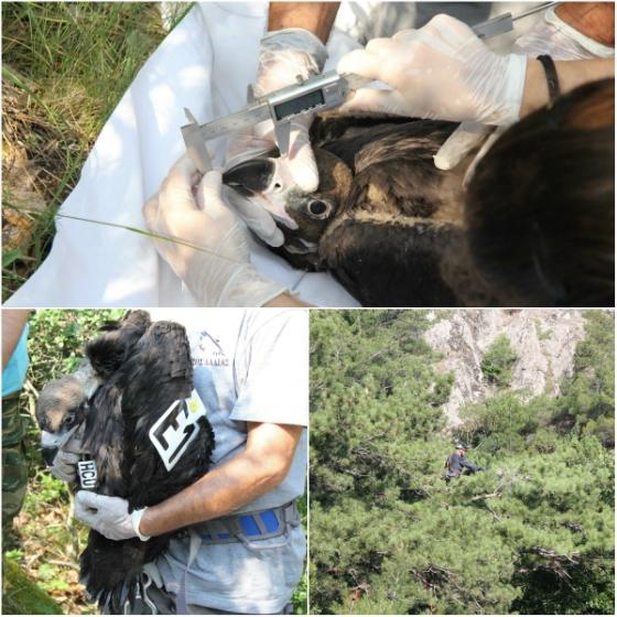 Δακτυλιώθηκαν Μαυρογυπάκια στο Εθνικό Πάρκο Δάσους Δαδιάς - Λευκίμης - Σουφλίου