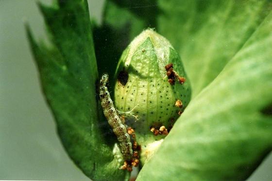Το πράσινο σκουλήκι κατατρώει ότι απέμεινε από τις καλλιέργειες στον Έβρο: «Πωλούνται πλέον τα χωράφια»