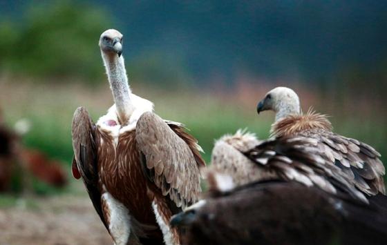 Τρία όρνια απελευθερώνει ο Φορέας Διαχείρισης στο δάσος Δαδιάς - Λευκίμης - Σουφλίου