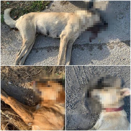 Αποτρόπαιο θέαμα: Νεκρά σκυλιά από φόλες στο Διδυμότειχο (photo)