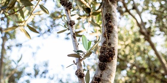 Έβρος: «Πονοκέφαλος» για τους ελαιοπαραγωγούς ο «καρκίνος της Ελιάς»