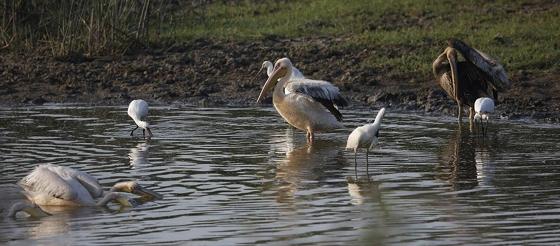 Αυξημένες μεταναστευτικές μετακινήσεις των πουλιών στο Δέλτα του Έβρου.