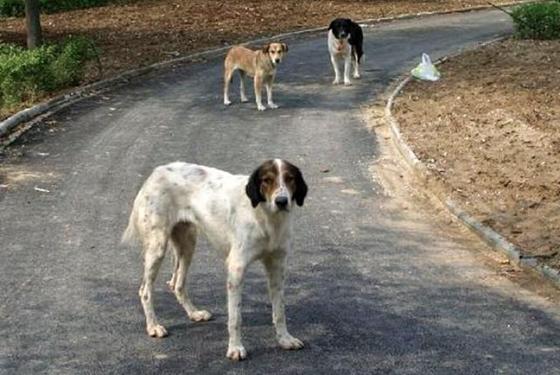 """Αλεξανδρούπολη: """"Αδέσποτα σκυλιά τραυμάτισαν το σκυλί μου"""""""