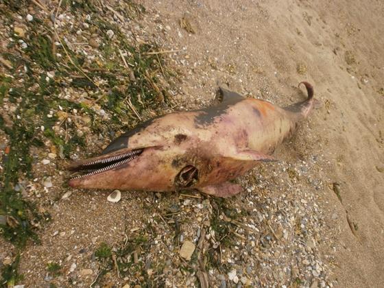 Δελφίνι ξεβράστηκε σε παραλία της Αλεξανδρούπολης